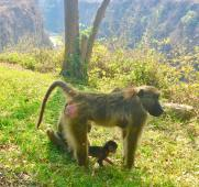 africa monkey with baby